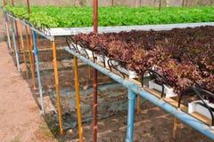 Planta hidropónica da alface Fotografia de Stock Royalty Free