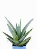 Planta home verde no potenciômetro de flor Imagem de Stock Royalty Free