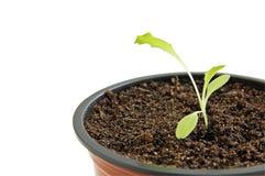 Planta i kruka Royaltyfria Bilder
