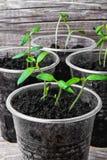Planta i plast- kopp Arkivbilder