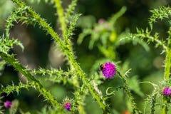 Planta implume rizada floreciente del cardo con el abejorro de clos Foto de archivo libre de regalías