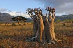 Planta incomun. O deserto levantou-se (o obesum do adenium) Foto de Stock
