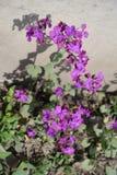 Planta inculta del annua del Lunaria en la plena floración Imagen de archivo libre de regalías
