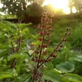 Planta india de la albahaca Imagenes de archivo