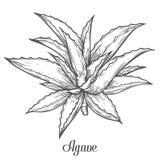 Planta indiana da groselha de Amla, emblica de Phyllanthus Ilustração gravada tirada mão gravura em àgua forte do esboço do vetor Foto de Stock Royalty Free
