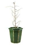 Planta inoperante isolada no fundo branco Fotos de Stock Royalty Free