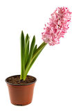 planta interna Hyacinth-decorativa Imagem de Stock Royalty Free