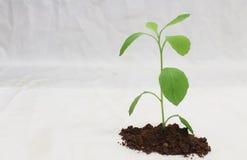 Planta isolada Foto de Stock Royalty Free