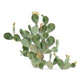 Planta isolada. Opuntia ficus-indica Fotos de Stock Royalty Free