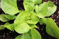Planta joven de la lechuga de Butterhead Fotografía de archivo