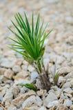 Planta joven de la yuca Foto de archivo libre de regalías