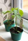 Planta joven de los chiles Fotografía de archivo