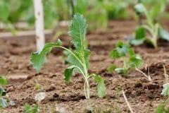 Planta joven del colinabo. Fotos de archivo