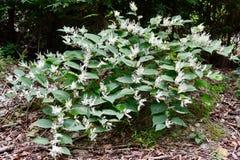 Planta knotweed japonês de florescência Imagens de Stock Royalty Free