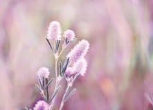 Planta lilás macia delicada das flores no prado do verão fotografia de stock royalty free