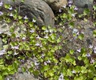 Planta limbing del ¡de Ð con las pequeñas flores azules en piedras decorativas grandes imagen de archivo