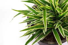 Planta listrada do Dracaena Foto de Stock Royalty Free