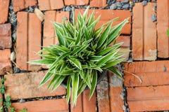 Planta listrada do Dracaena foto de stock