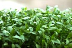Planta litet växa för pepparplantor arkivfoto