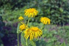 Planta médica da ênula (helenium de Inula) na flor Imagem de Stock Royalty Free