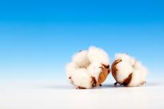 Planta macia do algodão Fotos de Stock Royalty Free