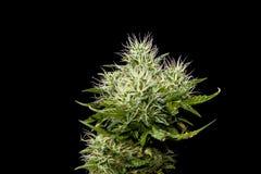 Planta madura del cáñamo Imagen de archivo