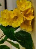 Planta mais velha amarela com flores imagem de stock