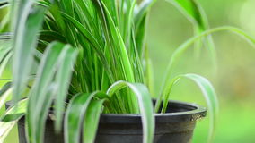 Planta masculina de la fertilización de la mano en pote metrajes