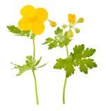 Planta medicinal: Celandine Foto de archivo