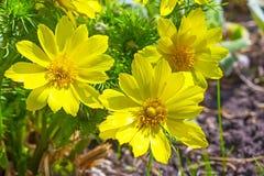 Planta medicinal da mola de Adonis do Siberian (vernalis de Adonis) Imagens de Stock Royalty Free