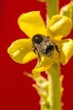 Planta medicinal del gran mullein con la flor Imagen de archivo libre de regalías