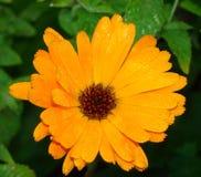Planta medicinal dos officinalis do Calendula Imagem de Stock