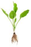 Planta medicinal. Llantén con la raíz Imagen de archivo