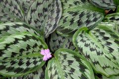 Planta medicinal - MARANTHACEAE, picturata de Calathea (Linden) K Cv de Kosh & de Linden Vandenheckei fotografia de stock