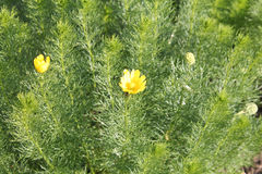 Planta medicinal ojo del ` s del faisán o de los vernalis amarillos de Adonis Foto de archivo libre de regalías