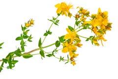 Planta medicinal: Perforatum do Hypericum O wort de St John Fotos de Stock Royalty Free