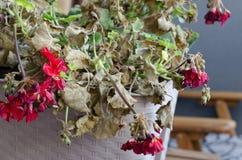 Planta medio muerta y apergaminada Pelargonuim, en un pote plástico, encendido fotografía de archivo