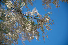 Planta mediterránea blanca en fondo azul Fotos de archivo