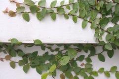 Planta mexicana de la margarita de Coatbuttons Imagen de archivo libre de regalías