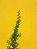 Planta mexicana de la margarita de Coatbuttons en la pared amarilla Imagen de archivo libre de regalías