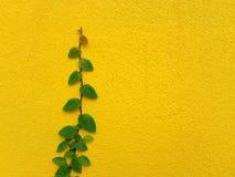 Planta mexicana de la margarita de Coatbuttons en la pared amarilla Fotos de archivo libres de regalías