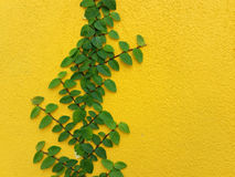 Planta mexicana de la margarita de Coatbuttons en la pared amarilla Fotografía de archivo