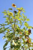 Planta mini o enana del girasol Fotografía de archivo libre de regalías