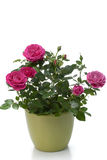 Planta miniatura de la casa de Rose Fotografía de archivo