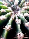 Planta miniatura del cactus Fotos de archivo libres de regalías