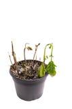 Planta muerta, aislada en blanco fotos de archivo