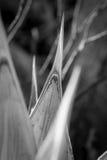 Planta muerta del agavo Fotografía de archivo