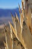 Planta muerta del agavo Imágenes de archivo libres de regalías