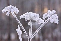 Planta muerta en el helada Fotografía de archivo libre de regalías