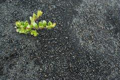 Planta na área de Hverfjall, perto do lago Myvatn, Islândia Fotos de Stock Royalty Free